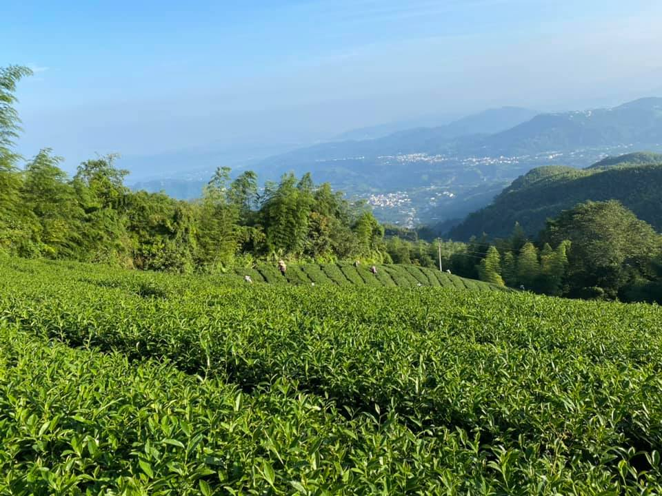 茶葉批發推薦,茶葉,台灣茶,台灣高山茶葉批發,奇萊山茶葉,台灣高山茶